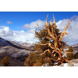 Bristlecone Pine and snow-capped mountains.