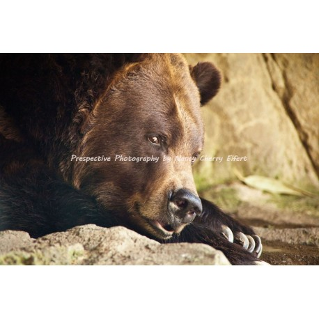 Grizzly Glance