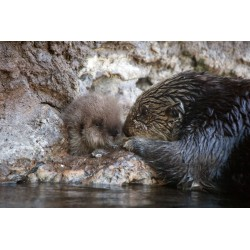 Sea Otter Pup and Mom