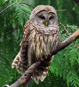 The Barred Owl is back!
