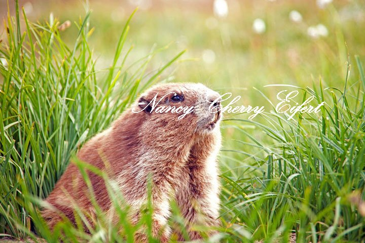 The Olympic Marmot